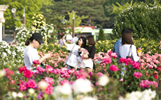 组图:首尔奥林匹克公园 玫瑰飘香
