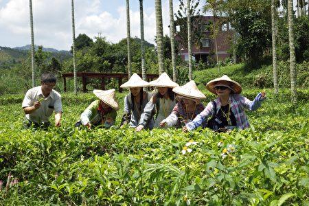 魚池鄉十三村,採茶體驗。(廖素貞/大紀元)