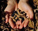黑豆自古以來就被視為是大地的禮物。(邱慧鳳提供)