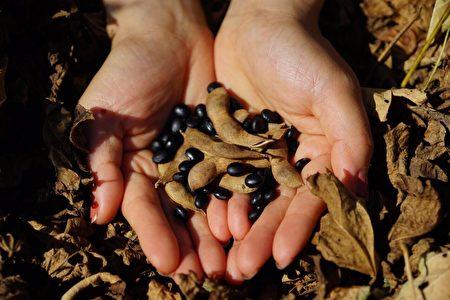 黑豆自古以来就被视为是大地的礼物。(邱慧凤提供)