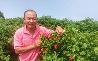 台灣屏東枋寮鄉農民戴輝榮「愛辣成癡」,10年前開始種植各種辣味十足的辣椒,幾乎無辣不種。(農糧署提供/中央社)