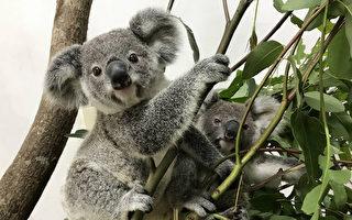 妈妈育儿方法不同 台北动物园无尾熊宝宝个性大翻转