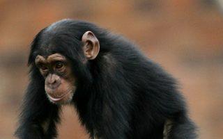 黑猩猩。 (Ian Waldie/Getty Images)