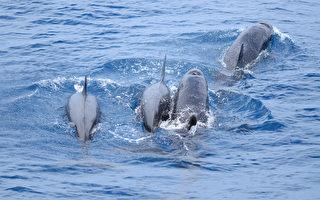 花莲外海又出现成群鲸鱼,1日出海的赏鲸船驶出花莲港1小时后,发现近百只伪虎鲸在海面悠游,甚至有嘴上刁著鲜鱼的伪虎鲸,让船上游客惊呼连连。(多罗满赏鲸公司提供)