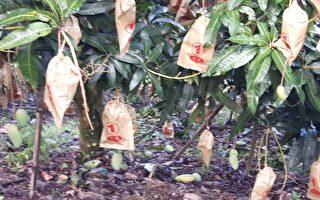 連日豪雨高市農損破千萬元,薑受損最嚴重,其次為芒果。(高市農業局提供)