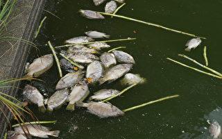 吳郭魚出現異常死亡,每天有好幾百隻。(桃園農業局/提供)