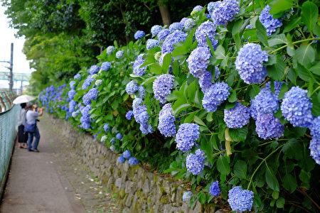6月是日本的梅雨季节,也是紫阳花盛开的季节。(野上浩史/大纪元)