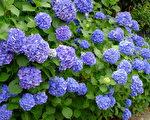6月是日本的梅雨季節,也是紫陽花盛開的季節,雨過之後紫陽花顯得更加亮麗。(野上浩史/大紀元)