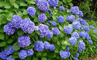 组图:东京梅雨季节 又见紫阳花盛开