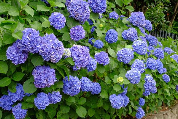 6月是日本的梅雨季节,也是紫阳花盛开的季节,雨过之后紫阳花显得更加亮丽。(野上浩史/大纪元)