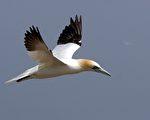 海鸟北塘鹅(Northern Gannet)。(维基百科公共领域)