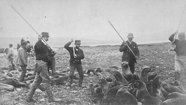 1890年代,阿拉斯加圣保罗岛的因纽特人正在猎杀海豹。(Hulton Archive/Getty Images)
