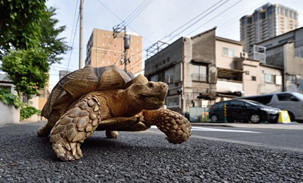 This picture taken on June 10, 2015 shows Bon-chan, a 19 year old male African spurred tortoise weighing about 70 kg (154 pounds), walking with his owner Hisao Mitani (not seen) on a street in the town of Tsukishima in Tokyo. Bon-chan loves fruit and vegetables and is often offered carrot and cabbage pieces by cheering neighbors when he is out. AFP PHOTO / KAZUHIRO NOGI (Photo credit should read KAZUHIRO NOGI/AFP/Getty Images)