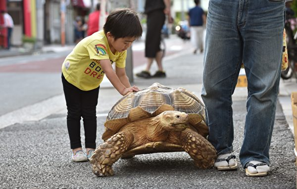 This picture taken on June 10, 2015 shows a young child playing with Bon-chan, a 19 year old male African spurred tortoise weighing about 70 kg (154 pounds), while out walking with his owner Hisao Mitani (R) on a street in the town of Tsukishima in Tokyo. Bon-chan loves fruit and vegetables and is often offered carrot and cabbage pieces by cheering neighbors when he is out. AFP PHOTO / KAZUHIRO NOGI (Photo credit should read KAZUHIRO NOGI/AFP/Getty Images)
