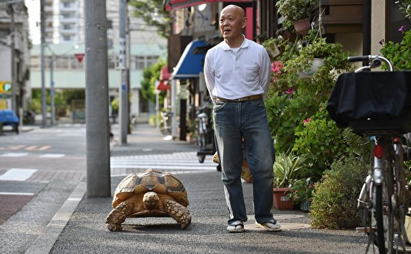 This picture taken on June 10, 2015 shows Bon-chan, a 19 year old male African spurred tortoise weighing about 70 kg (154 pounds), walking with his owner Hisao Mitani (R) on a street in the town of Tsukishima in Tokyo. Bon-chan loves fruit and vegetables and is often offered carrot and cabbage pieces by cheering neighbors when he is out. AFP PHOTO / KAZUHIRO NOGI (Photo credit should read KAZUHIRO NOGI/AFP/Getty Images)