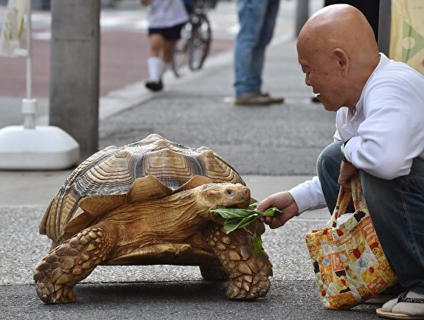 This picture taken on June 10, 2015 shows Bon-chan, a 19 year old male African spurred tortoise weighing about 70 kg (154 pounds), eating pieces of cabbage while out walking with his owner Hisao Mitani on a street while out for a walk in the town of Tsukishima in Tokyo. Bon-chan loves fruit and vegetables and is often offered carrot and cabbage pieces by cheering neighbors when he is out. AFP PHOTO / KAZUHIRO NOGI (Photo credit should read KAZUHIRO NOGI/AFP/Getty Images)