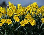 英格兰农郊的水仙花田背后,有一个隐藏了17年的动人故事。 (OLI SCARFF/AFP/Getty Images)