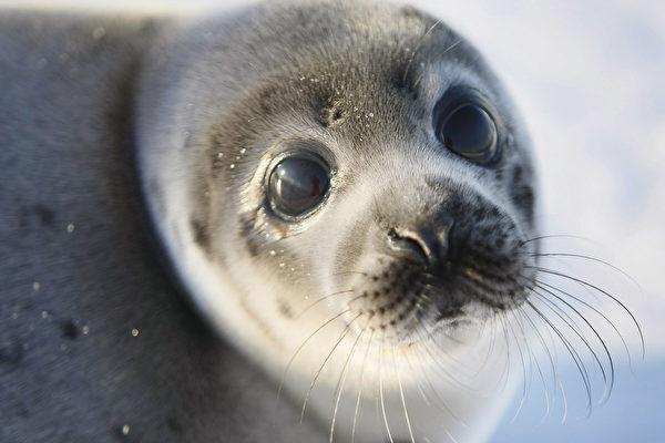 2008年3月,加拿大圣劳伦斯湾的一只海豹。(Joe Raedle/Getty Images)