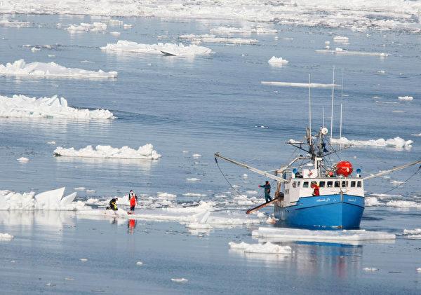2008年3月,加拿大夏洛特敦附近的圣劳伦斯湾,捕猎海豹的场面。加政府当年宣布,该年度将猎杀275,000头海豹,引起动物保护组织的抗议。 (Joe Raedle/Getty Images)