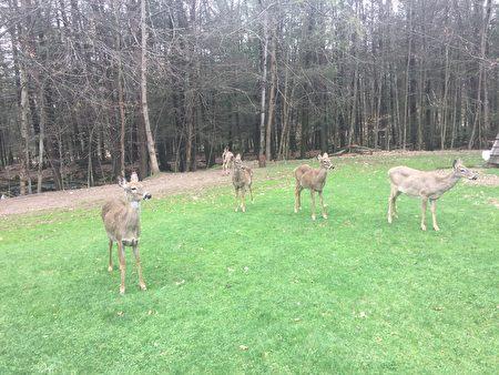 每到下午,小鹿們結伴出來覓食(大紀元)