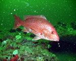红鲷鱼。(维基百科公共领域)