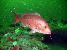 紅鯛魚。(維基百科公共領域)