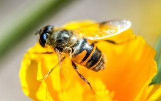 蜜蜂很温和,一般不会主动攻击人。 (Philppe Huguen/AFP/Getty Images)