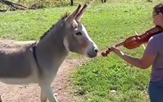 """她拉着小提琴""""对驴弹琴""""没想到驴子反应却是……"""