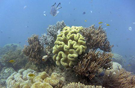 澳洲昆士兰沿岸海水破历史纪录的暖化现象引发了超过1500公里的珊瑚白化现象。(WILLIAM WEST/AFP/Getty Images)