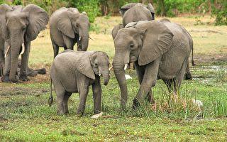泰国孤儿幼象初抵收容所 象群飞奔去迎接