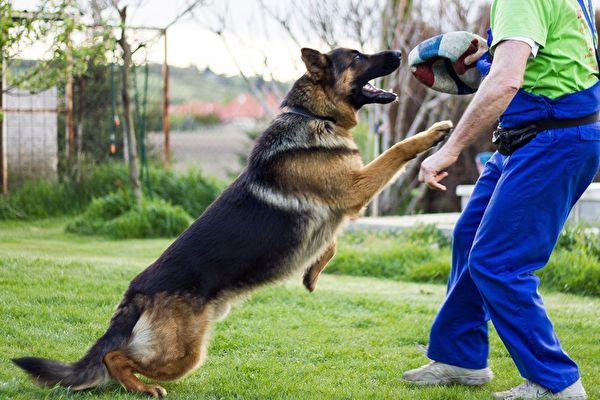 澳洲警犬因友善被開除 反換到好工作