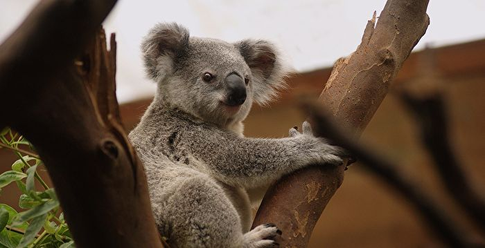 野火燒不停 澳洲國寶無尾熊恐瀕臨絕種