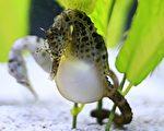 雄海马一般经过9至45天的怀卵期,再孵出发育成熟的小海马。(shutterstock)