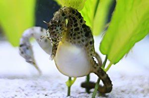 雄海馬一般經過9至45天的懷卵期,再孵出發育成熟的小海馬。(shutterstock)