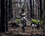 智利中部森林遭大火焚毁,该国女子托雷斯(Francisca Torres)所饲养的小狗协助播种与造林。(Martin BERNETTI/AFP)