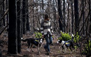 智利森林遭回禄之灾 3只小狗助其重生