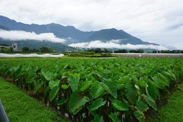 花莲吉安乡的芋叶在雨水的刷洗下更显翠绿,与远山山岚相互辉映。(李怡欣/大纪元)