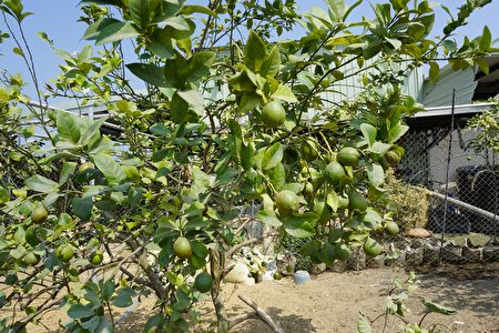 一顆顆飽滿的果實 是土地給程永進最大的回饋。(廖素貞/大紀元)