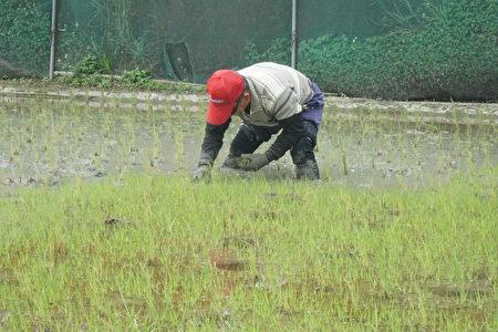 因太晚除草,草長得比稻子還多,程永進只好一棵棵的拔。(廖素貞/大紀元)