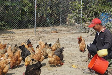 看雞吃得津津有味,程永進也開心。(廖素貞/大紀元)