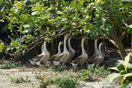 程永進也養了一群鵝來幫忙吃草。(廖素貞/大紀元)