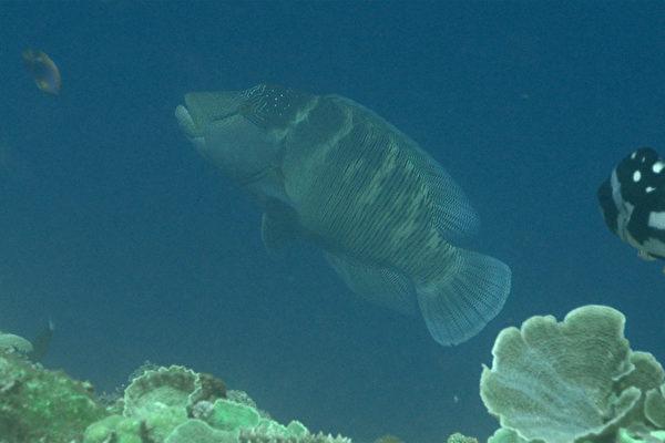 """""""在东沙潜水20几年来,只看过1尾龙王鲷,这次在太平岛1个半月看到5尾,这最让我惊喜,代表这里状况真的很好"""",中央研究院研究员郑明修在太平岛调查的第一手资料首度曝光。图为郑明修团队在太平岛周边海域捕捉到龙王鲷的身影。(研究员郑明修提供/中央社)"""