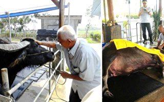 「117歲」老牛不吃不喝 見到主人最後一面才甘願離世