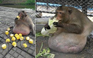 """游客喂食来者不拒 泰猴""""胖大叔""""被送减肥营"""