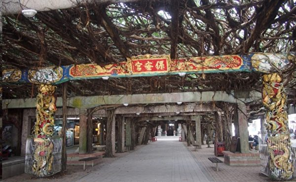 距跨海大桥不远的通梁古榕,是来到澎湖必访的景点之一。(大纪元)
