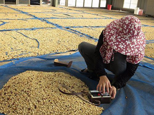 嵩岳咖啡庄园里处理日晒豆的情境。(嵩岳咖啡庄园提供)