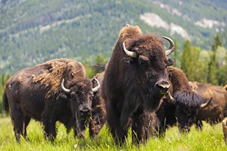 野牛曾经是草原的主人。(Fotolia)