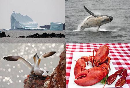 来大西洋省旅游不可错过冰山、鲸鱼、海鸟、龙虾。(AFP、Getty Images、Fotolia)