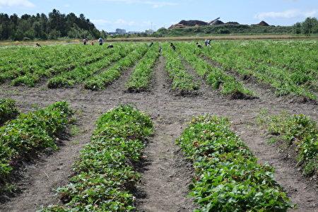 图:W&A 农场有15英亩的草莓地,另外有48英亩农田种植各种无公害蔬菜。(古溪源/大纪元)