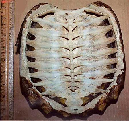 龟壳的内侧也就是乌龟的脊髓跟肋骨。(新唐人)